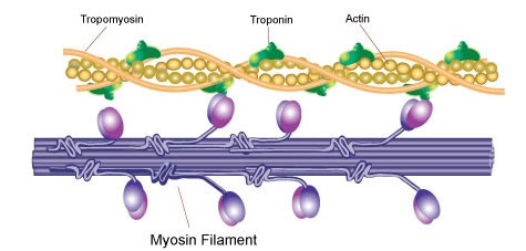 Actin and myosin muscle growth