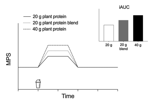 muscle protein synthesis plant protein